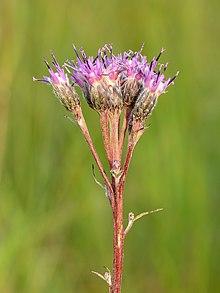 Saussurea alpina esthonica - Eesti soojumikas - Niitvälja soo2.jpg