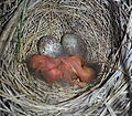 Savannah Sparrow, Passerculus sandwichensis, hatch day nestlings, baby birds, with 2 eggs in nest in grass AB Canada.jpg
