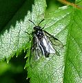 Sawfly - Flickr - gailhampshire (6).jpg