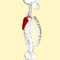 Scapula - lateral view.png