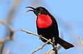 Scarlet-chested sunbird, Chalcomitra senegalensis, at Lake Chivero, Harare, Zimbabwe - male (21856918852).jpg