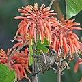 Scarlet-chested sunbird (Chalcomitra senegalensis lamperti) female.jpg