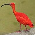 Scarlet ibis arp.jpg