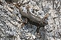 Sceloporus occidentalis 8089.JPG