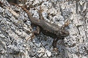 Sceloporus occidentalis occidentalis - Image: Sceloporus occidentalis 8089
