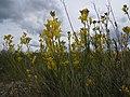 Schoenocrambe linifolia (5008056399).jpg