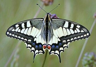 Papilio - Papilio machaon