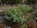 Scleranthus perennis IP0706004.JPG