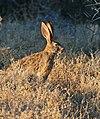 Scrub Hare (Lepus saxatilis) (32644640885).jpg