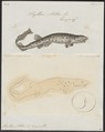Scyllium stellare - 1700-1880 - Print - Iconographia Zoologica - Special Collections University of Amsterdam - UBA01 IZ14100113.tif