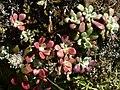 Sedum spathulifolium 37831.JPG