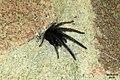 Segestria florentina 4 (32813074982).jpg