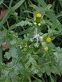 Senecio vulgaris 105861688.jpg