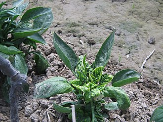 Plant virus - Leaf curl virus