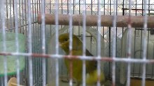 ファイル:Serinus canaria - in a cage - japan -20121108.ogv