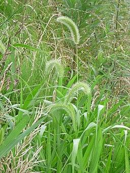Setaria viridis P. Beauv. (Enokorogusa-Japanese)