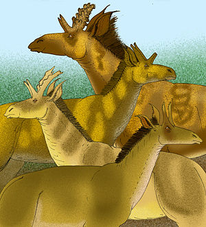Giraffidae - Shansitherium and Palaeotragus microdon, two giraffids from the Miocene of Asia