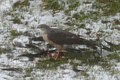 Sharp-shinned Hawk (Accipiter striatus) - Mississauga, Ontario 02.jpg