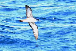Shearwater pink-footed ventral fall monterey calif 2a.jpg