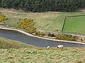 Sheep, Glencorse Reservoir - geograph.org.uk - 412634.jpg