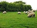 Sheep Pasture near Grange - geograph.org.uk - 14614.jpg
