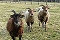 Sheep at Upper Lodge - geograph.org.uk - 1189402.jpg