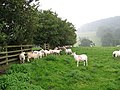 Sheltering sheep - geograph.org.uk - 506887.jpg