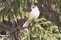 Siberian Jay (Perisoreus infaustus) (13667858173).jpg