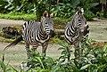 Singapore Zoo Zebra-4 (6605057097).jpg