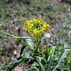 Sisymbrium irio flower.JPG