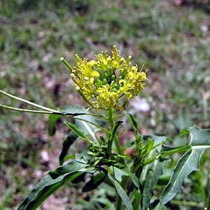 Sisymbrium irio - Image: Sisymbrium irio flower
