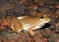 Skittering Frog Euphlyctis cyanophlyctis by Dr. Raju Kasambe DSCN0020 (9).jpg
