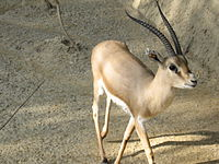 اللغة العربية في الموسوعة الحرة (ويكيبيديا)  200px-Slender-horned_gazelle_%28Cincinnati_Zoo%29