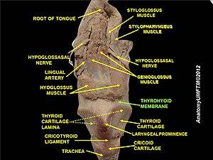 Thyrohyoid membrane - Image: Slide 11lll