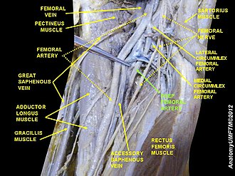 Deep artery of the thigh - Image: Slide 8LLLLL
