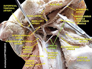 Lingual artery - Image: Slide 9hhh