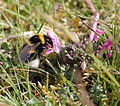 Small Garden Bumble Bee.JPG