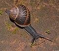 Snails 0012-wiki-Zachi-Evenor.jpg