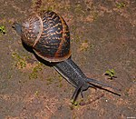 Snails 0012-wiki-Zachi-Evenor.jpg
