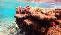 Snorkeling Karpata Reef, Bonaire (12842307034).jpg