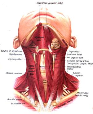 Mylohyoid muscle - Image: Sobo 1909 255