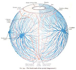 Vorticose veins - Image: Sobo 1909 744