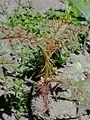 Solanum pyracanthum0.jpg