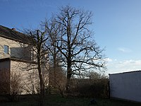 Sollnitz Natural Monument Pedunculate Oak.jpg
