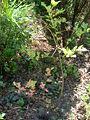 Some blueberries 2007 2.JPG