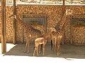 South African Giraffes 02.jpg