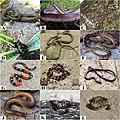 Species from the Atlantic Forest (10.3897-zookeys.787.26946) Figure 5.jpg