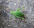 Speckled Bush Cricket female (36843347975).jpg