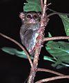 Spectral Tarsier Tarsius tarsier (7911589710).jpg