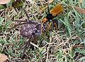 Spider Wasp dragging Hunstman Spider SMC.jpg
